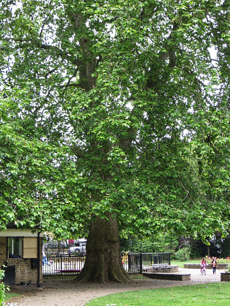 One of the original plane trees?