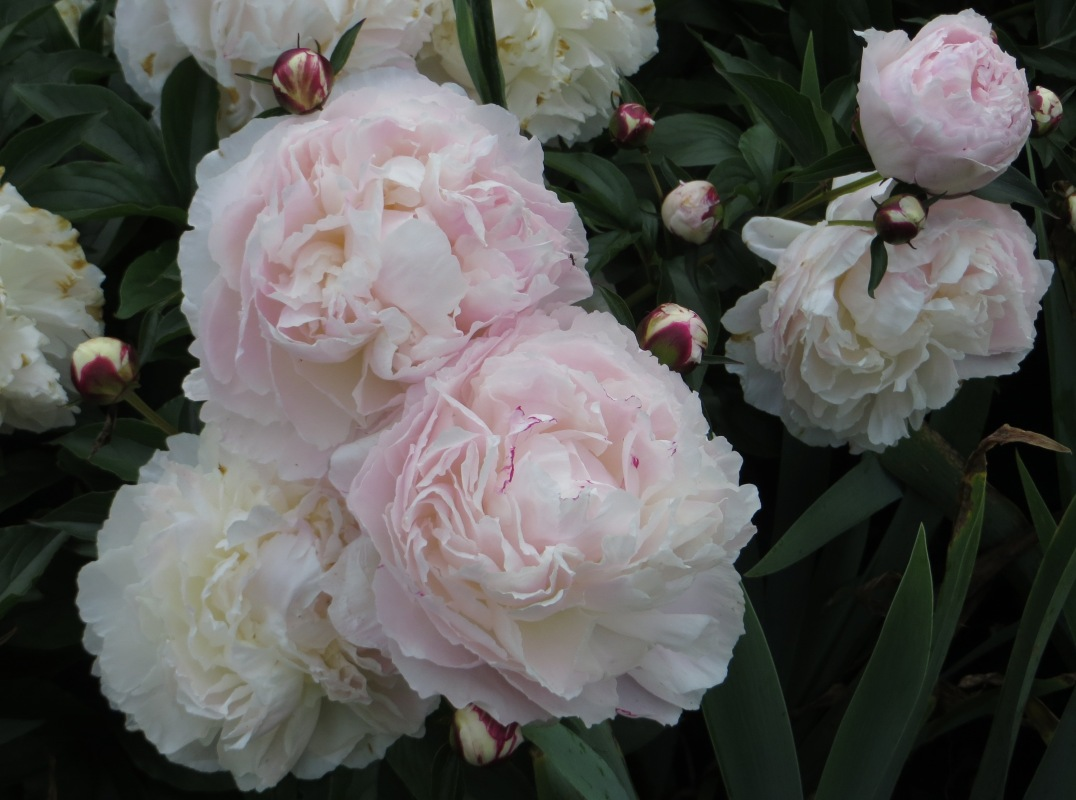 White paeonies in Greenwich Park