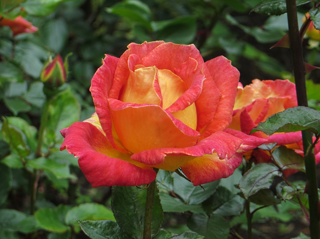 Roses in Thornhill Square Gardens