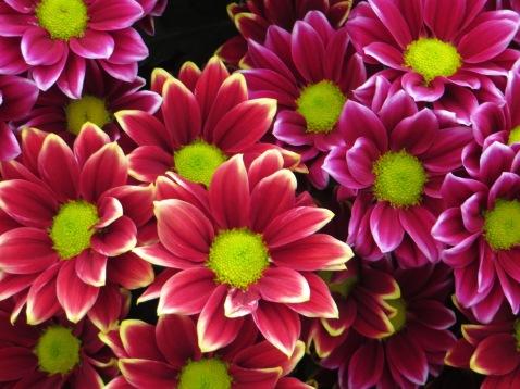 Crysanthemums