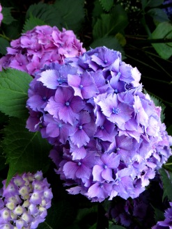 Hydrangeas in Greenwich Park