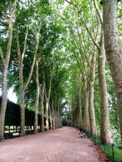 Plane trees beside the river La Voiselle