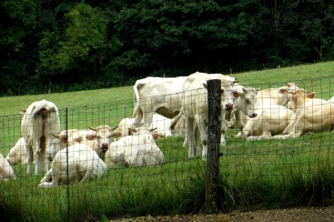 Charolais cattle in the fields around the Parc Floral