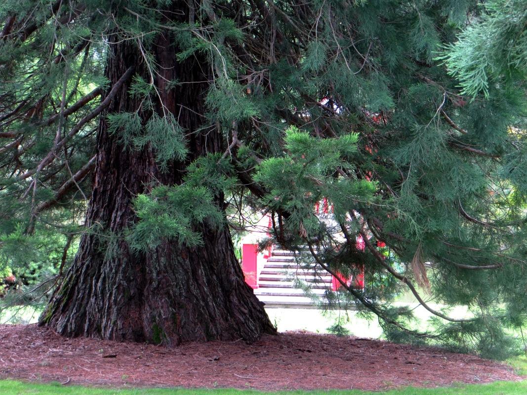 Sequoia Giganteum