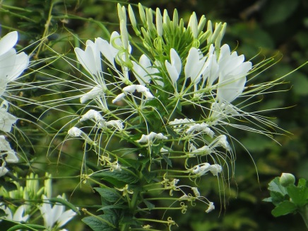 Cleome - Spider Flower
