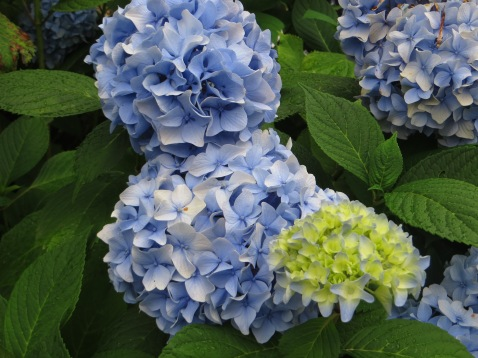 Hydrangeas at the gite at Cayre