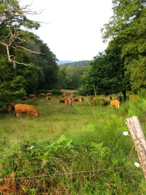 Cows at Cayre