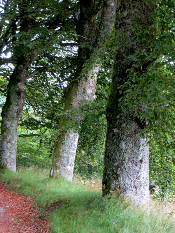 Beech trees on the Routes des Hetres