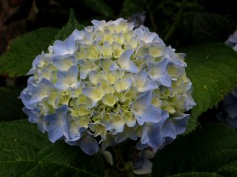 Hydrangeas outside the gite