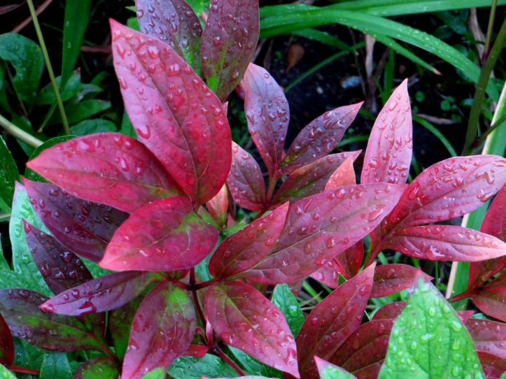 Paeony leaves