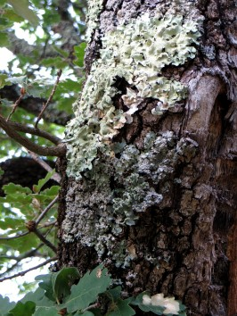 Lichen on an oak tree