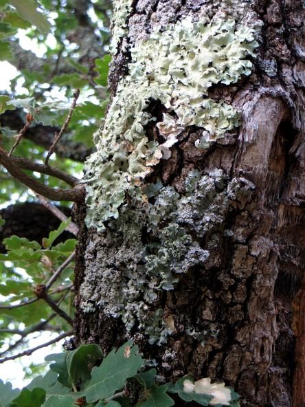 Lichen on an oak tree