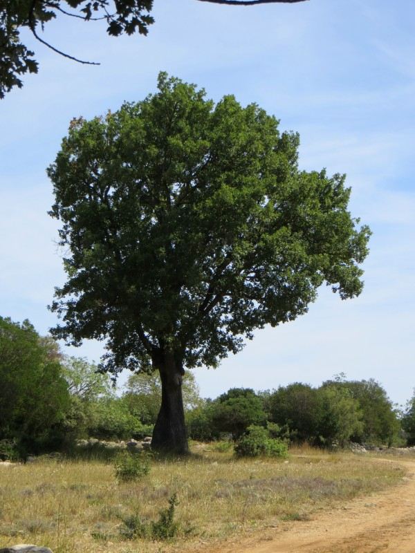 Large, unexpected oak tree