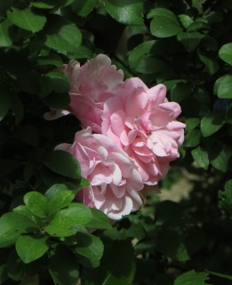 Roses in the Mediaeval garden