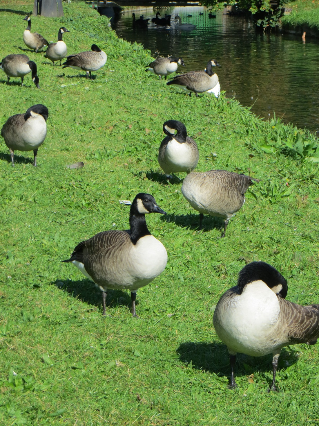 The Canada Geese
