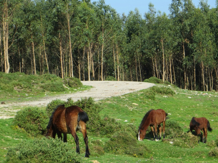 Wild horses in the hills above Baiona