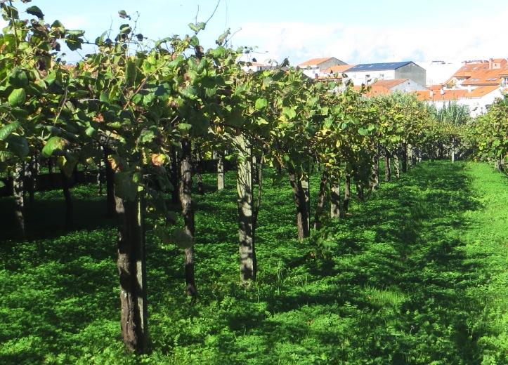 Vineyard of Albarino grapes in Cambados