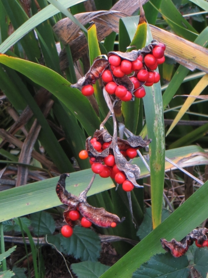 Iris seedheads, Red Cross Cottages and Gardens, Southwark