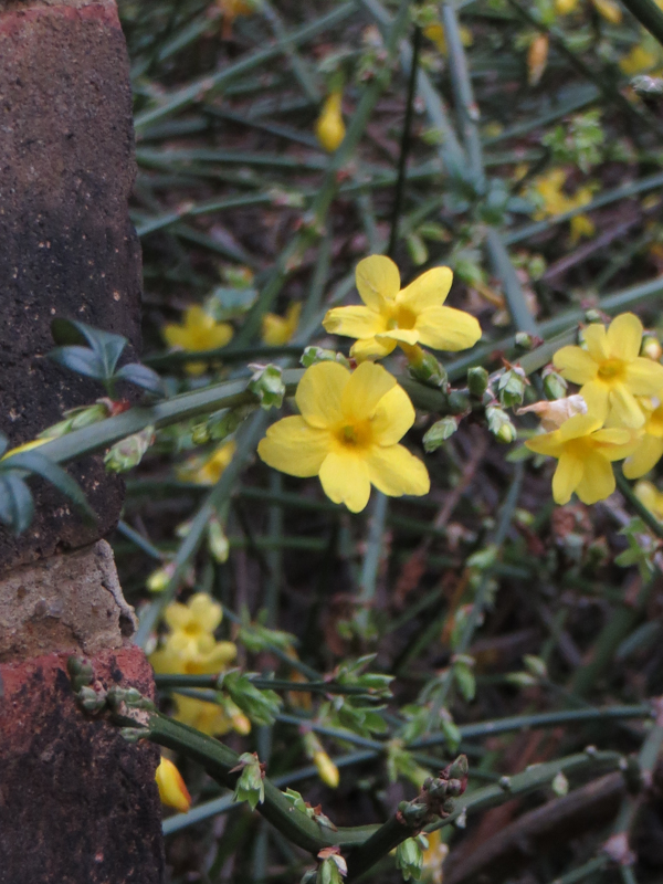 Winter jasmine, Gable Cottages, Sudrey Street