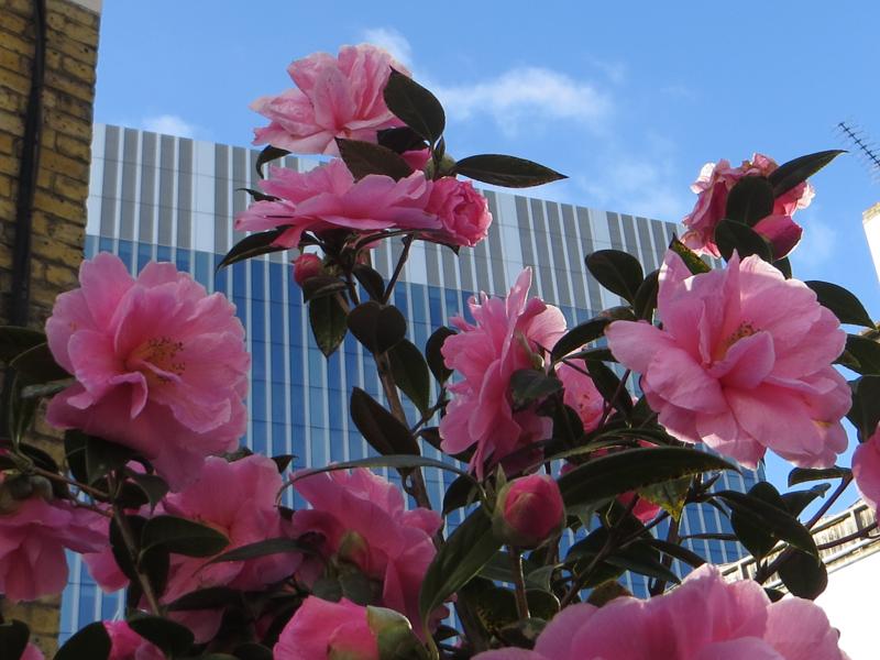 Camellias in Southwark