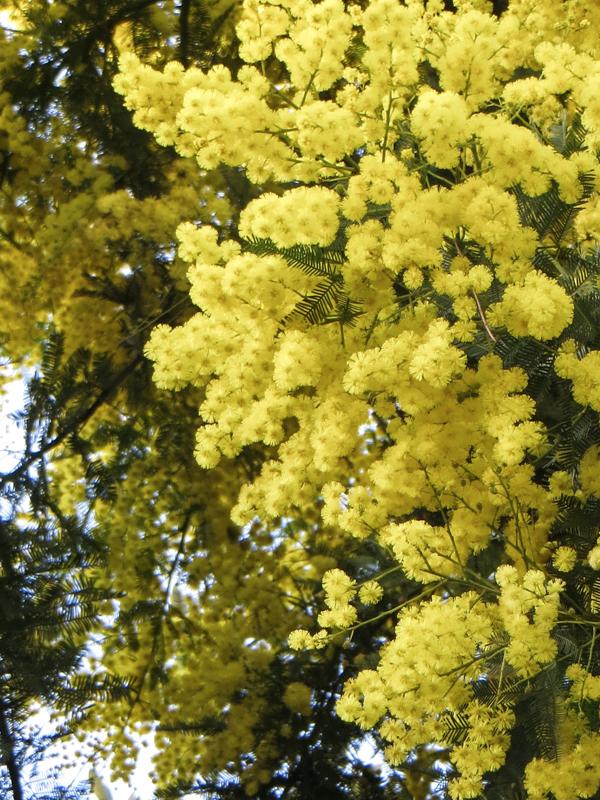 Mimosa in Kennington Road