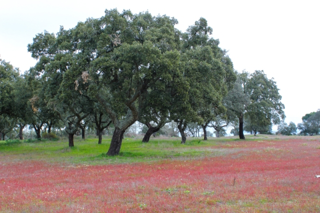 Flowering grass in the Alentejo