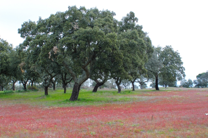 Flowering grass in the Alentejo