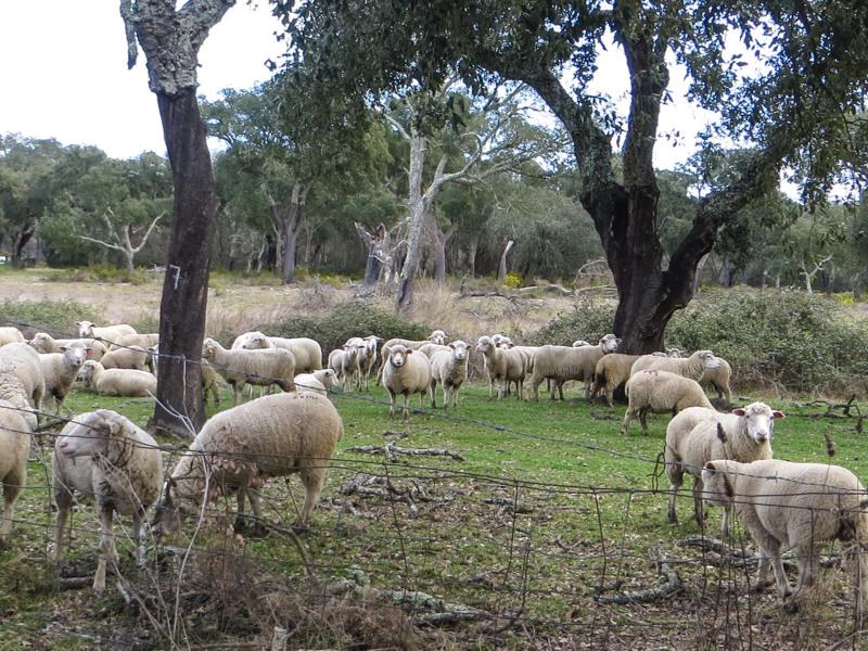 Sheep under the cork oaks