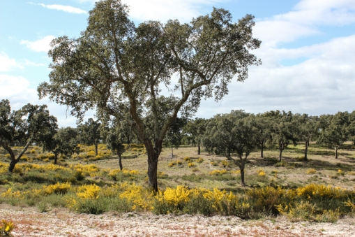 Cork oaks and gorse in the Alentejo