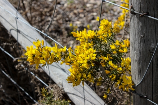 Gorse in the Alentejo