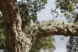 Cork oak in the Alentejo