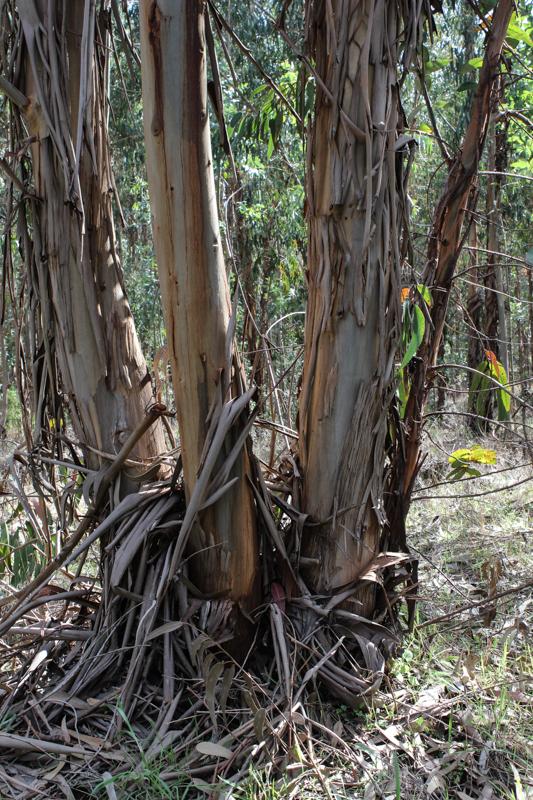 Eucalyptus trees in the Alentejo
