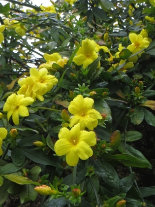 Winter jasmine in Crato
