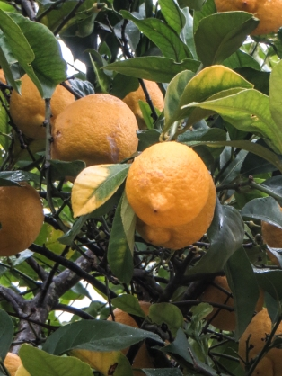 Oranges in a Crato garden