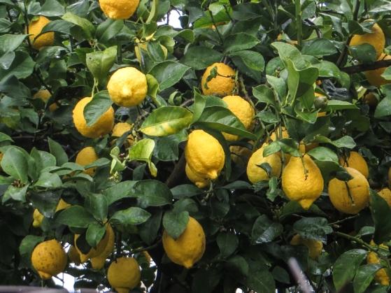 Lemons in a Crato garden
