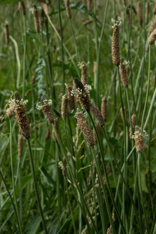 Wild grasses in Ladywell Fields