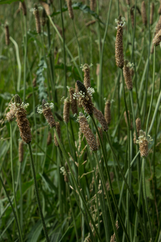 Wild grasses in Ladywell Fields