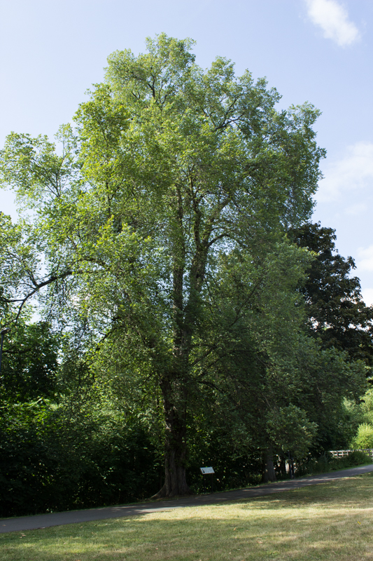 The Lewisham Dutch Elm