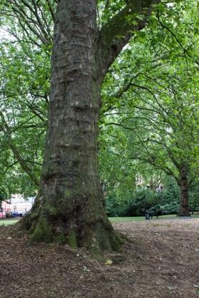 Plane tree in Southwark Park