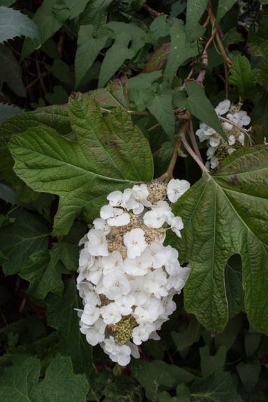Hydrangea Quercifolia
