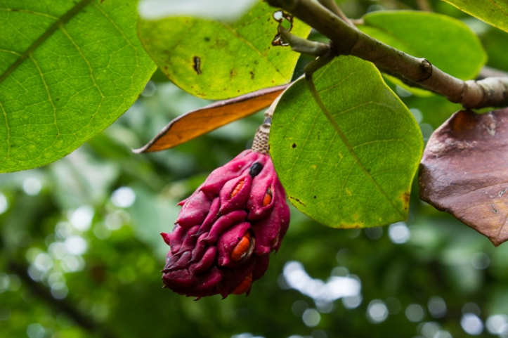 Magnolia seedpod