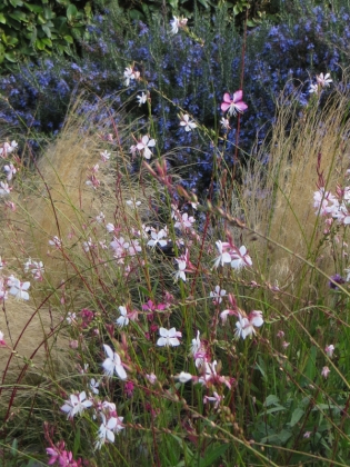 Gaura, grasses & rosemary outside the hotel