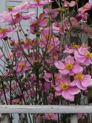 Pink Japanese Anemones in Daoulas