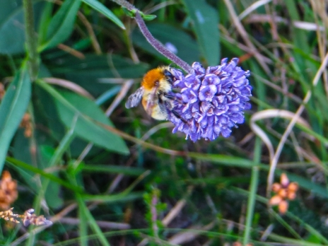 Bees in the scabious