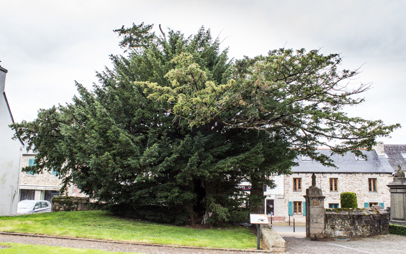 The Taxus Baccata, Church of Notre Dame, Plourin les Morlaix
