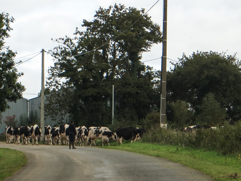On the way home - more cows!
