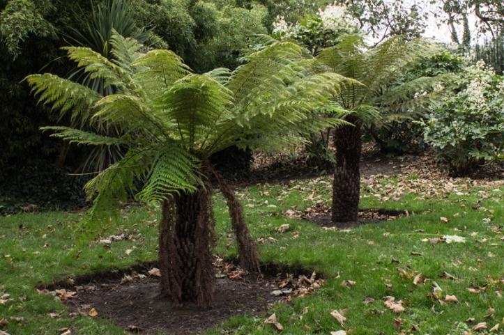 Tree ferns in Battersea Park