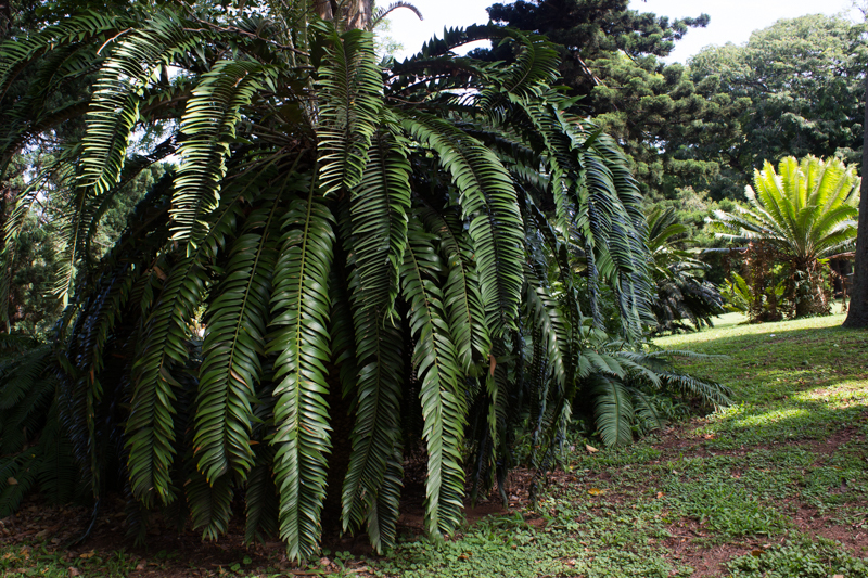 Cycads in Durban Botanic Gardens
