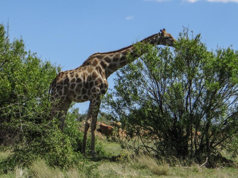 Giraffe in the Franklin Nature Reserve, Bloemfontein