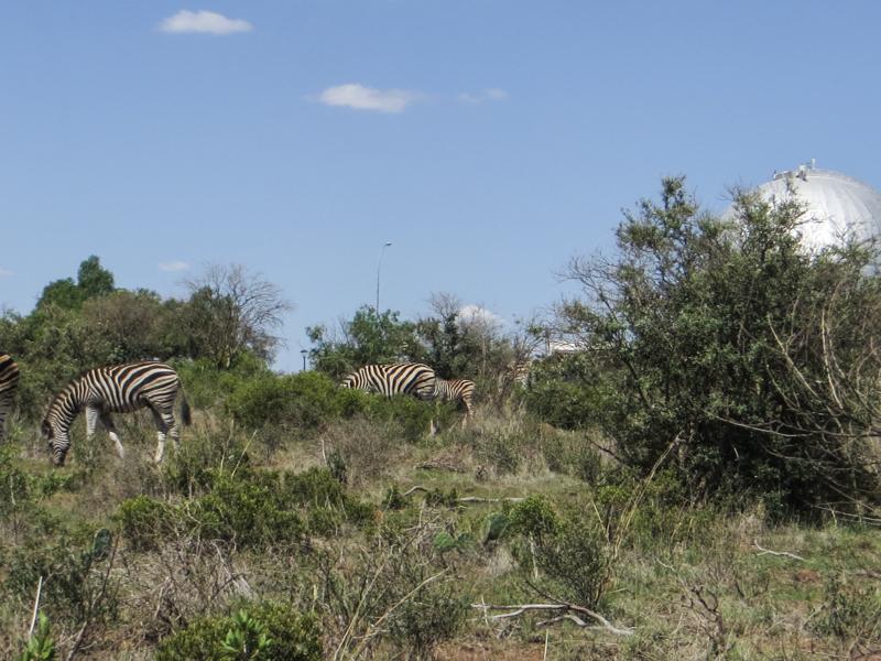 Zebra in the Franklin Nature Reserve, Bloemfontein